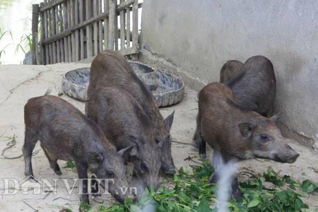 Nguyễn Xuân Sơn cho biết, về cơ bản, nguồn thức ăn cho đàn lợn rừng nuôi dễ tìm, dễ chế biến và anh có thể chủ động hoàn toàn trong trang trại.