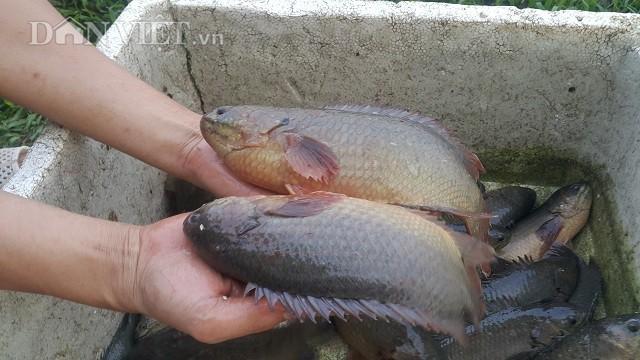 Sau khoảng 4-5 tháng nuôi là cá có thể đạt trọng lượng từ 300-700gam/1con.