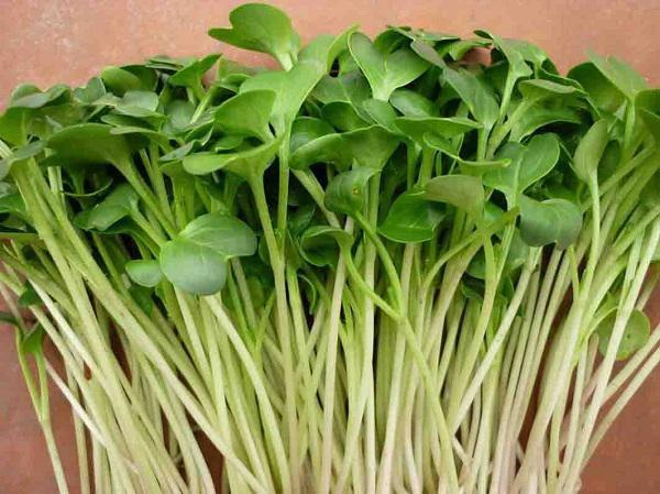 Rau mầm chứa nhiều chất dinh dưỡng, chất xơ, tốt cho sức khỏe và vô cùng dễ trồng.
