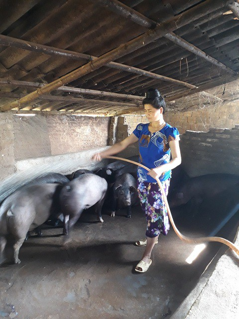 Đàn lợn nhà chị Thắm, con nào, con nấy cũng béo tốt, khỏe mạnh