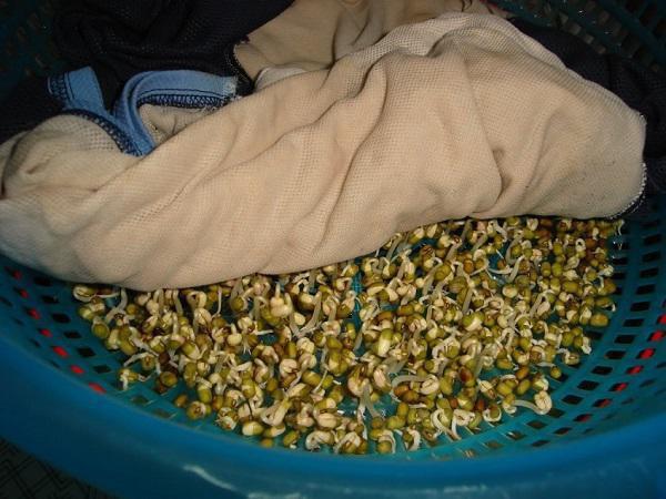 Khi ủ hạt giống rau mầm với khăn vải cần đảm bảo khăn tưới đẫm nước.