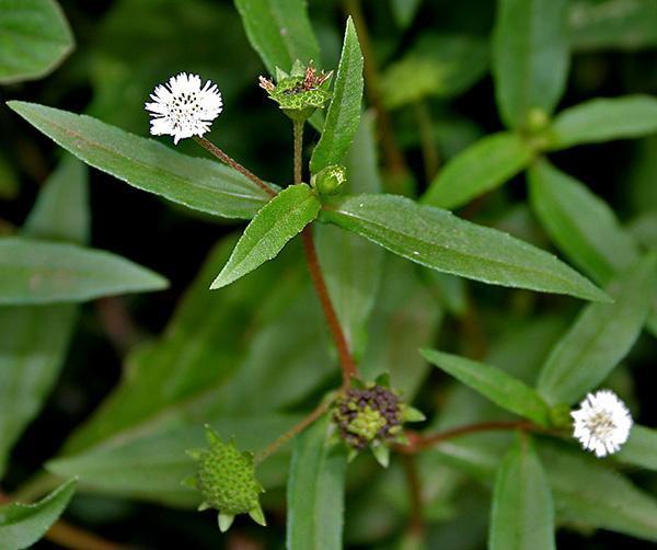Cỏ mực - có tên khoa học là Eclipta alba Hassk thuộc họ Cúc Asteraceae