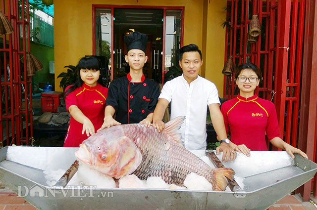 """Lần đầu tiên, cá hô huyết vảy rồng siêu khủng được đưa về phục vụ các """"thượng đế"""" ở Thủ đô"""