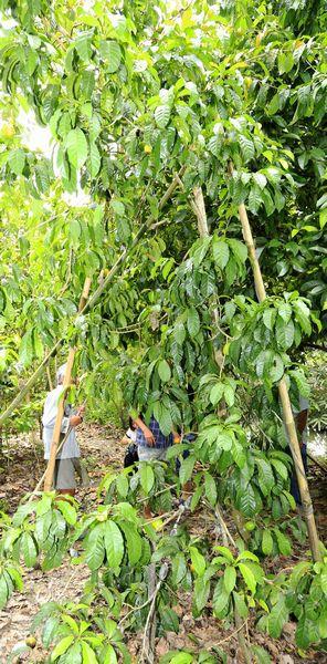 Ông Rỡ cho hay, thoạt nhìn cây vú sữa rất dễ nhầm lẫn với cây lêkima. Tuy mới trồng nhưng vườn vú sữa lạ của gia đình ông Rỡ luôn có nhiều khách tới thăm quan, ngắm cây, xem quả.