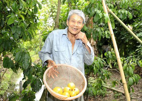 Và khi những trái vú sữa lạ có nguồn gốc từ Đài Loan này chín thì sẽ dần chuyển sang màu vàng tươi óng ả như cục vàng bắt mắt.