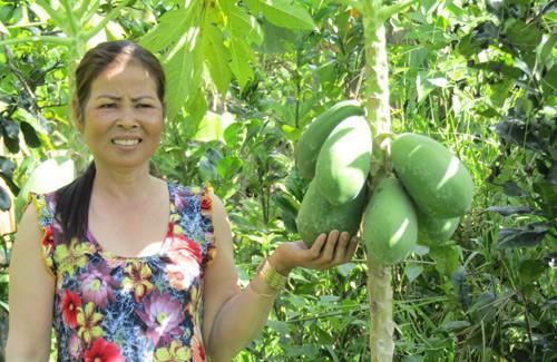 Vườn trồng lung tung, mới bán chuối cau, đu đủ đã lãi nửa tỷ/năm