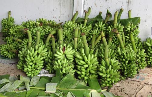 Mỗi tháng bà Thu Hà bán ra 1.400-1.600 nải chuối cau, trừ chi phí còn lãi gần 20 triệu đồng.