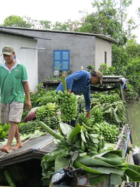 Thương lái cặp ghe ghé vườn của gia đình bà Thu Hà để ăn hàng chuối cau chở đi bỏ mối.