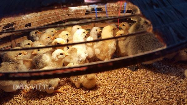 Những chú gà con 6 ngón anh Pai chuẩn bị giao cho khách hàng.