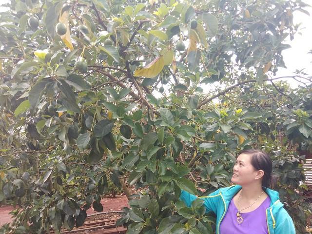 Vườn bơ Booth hàng trăm triệu đồng của chị Thúy sắp cho thu hoạch