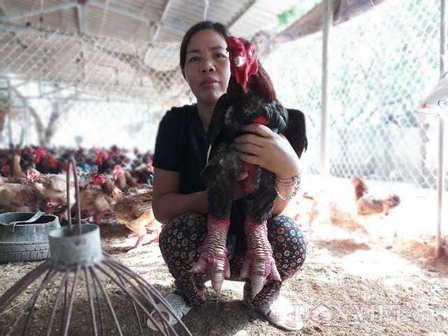 Sau nhiều năm gắn bó với giống gà Đông Tảo, đến nay trang trại gà của chị Nguyễn Thị Cúc đã được rất nhiều khách hàng biết đến và tin chọn.