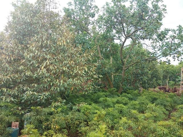 Vườn cây ăn quả được chị Thúy trồng xen lẫn cây dược liệu (đinh lăng ta) ở phía dưới.