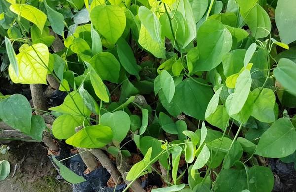 Rau bò khai không chỉ là loại rau đặc sản mà còn có công dụng hỗ trợ chưa một số bệnh gan, thận...