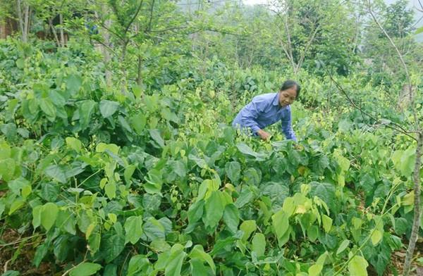 Nhờ mô hình trồng và kinh doanh rau bò khai mà gia đình anh Đắc và nhiều hộ dân ở Kim Phương không chỉ thoát nghèo mà còn vươn lên có thu nhập cao.