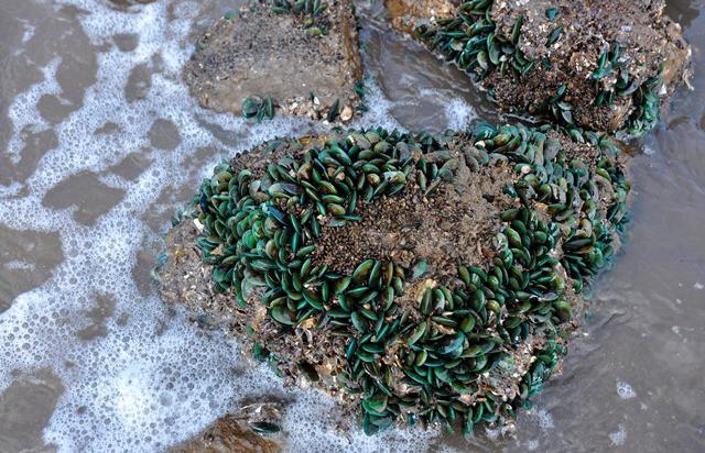 """Khó khăn nhất của việc đánh bắt vẹm xanh là phải """"thạo"""" được thủy chiều lên – xuống của nước biển. Lúc nước ròng, lộ ra phần đá, gạch – nơi vẹm xanh bám vào, do đó việc đánh bắt dễ dàng nhất."""