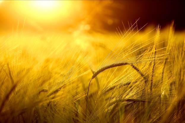 Lúa mạch- nguyên liệu tạo nên sự khác biệt của dòng nước giải khát TH true MALT