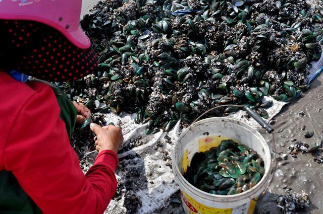 Chị Huế (35 tuổi, xã Hải Lý) chia sẻ, thời gian đánh bắt vẹm xanh chỉ kéo dài từ 1-2 giờ đồng hồ mỗi ngày, đến khi thủy chiều lên, nước ngập các tảng gạch đá, việc đánh bắt cũng khó và có thể nguy hiểm.