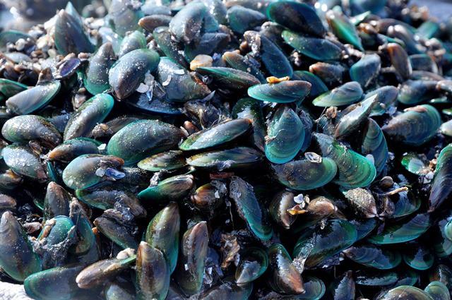 Vẹm xanh được thương lái thu mua luôn tại bãi với giá 40-50 nghìn đồng/ kg. Trên thị trường hải sản, vẹm xanh được bán giá 90-100 nghìn đồng/ kg.