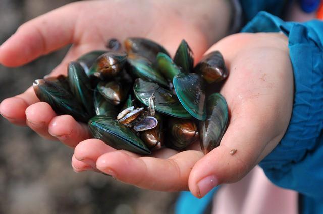 Trên thế giới, vẹm xanh phân bố ở vùng biển châu Á - Thái Bình Dương và được nuôi nhiều tại Trung Quốc, Nhật Bản, Thái Lan. Ở nước, vẹm xanh là loại hải sản được đánh bắt nhiều ở biển miền Trung.