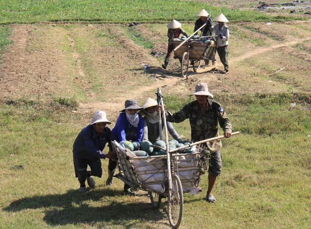 Người dân thu hoạch dưa hấu và chuyển về nơi tập kết để bán.