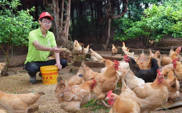"""""""Gà ở cữ"""" được thả rừng kết hợp chăn nuôi bằng ngũ cốc"""