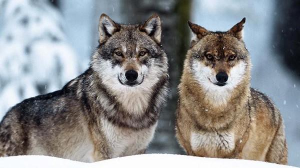 Đây chính là nguyên bản của linh vật sói Zabivaka.