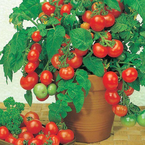 Chúc các bạn thành công với những cách trồng cà chua đơn giản trên!