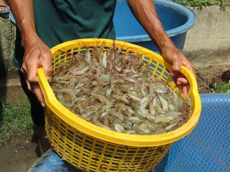 Thu hoạch tôm nuôi tại ao của gia đình anh Châu Văn Sol.