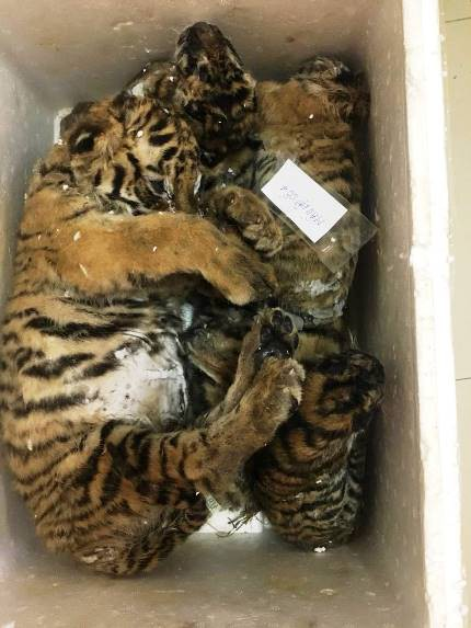 Cá thể hổ được phát hiện trong xe ô tô.