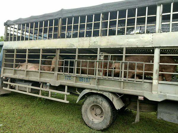 Các đối tượng dùng xe ô tô trọng tải lớn ngang nhiên vận chuyển lợn trái phép qua biên giới về nội địa tiêu thụ.