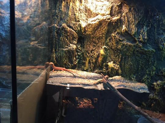 Một loại thằn lằn nhập ngoại có giá 1,5-4 triệu đồng/con