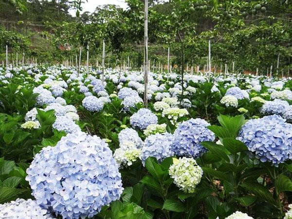 Ngoài ra, vì đất sẽ ảnh hưởng đến màu hoa, nên nếu muốn ra hoa màu hồng hay màu tím, nên để pH>7, muốn ra hoa màu lam thì nên để pH < 7, còn muốn hoa có màu trắng sữa thì cần đất trung tính có độ pH=7,…