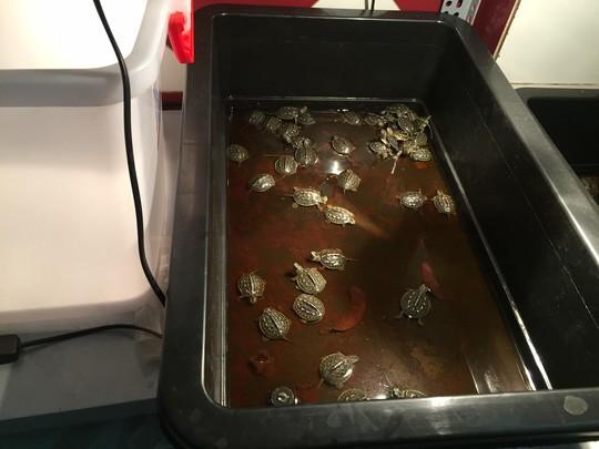 Các loại rùa nhập khẩu có giá vài triệu đồng/con.