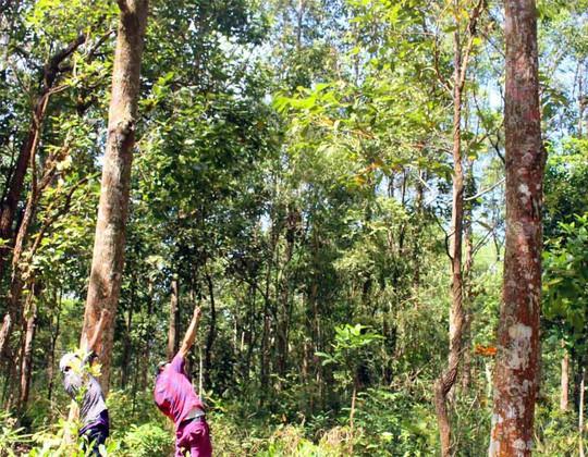 Tắc kè bay thường nằm trên cây cao trong rừng rậm nên muốn bắt được chúng phải dùng ná bắn