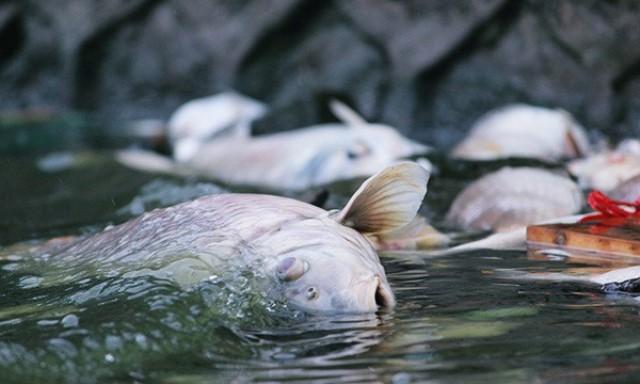 Những con cá lớn ở hồ Tây cũng bị chết.