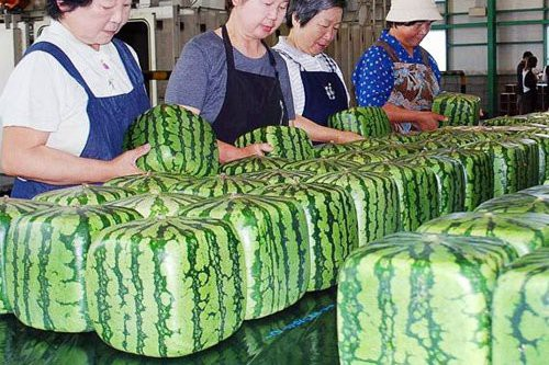 Dưa hấu vuông là loại dưa nổi tiếng ở Nhật Bản và có giá rất đắt đỏ    Theo các chủ hàng bán dưa hấu vuông tại Hà Nội, loại dưa này rất nổi tiếng, được trồng ở quần đảo Shikoku (Nhật Bản). Để biến những quả dưa hấu từ hình tròn thành hình vuông, những người nông dân trồng dưa ở quần đảo này đã phải sử dụng chiếc khuôn kim loại dài rộng 18cm nhằm mục đích tạo hình lại cho quả dưa. Giai đoạn từ khi quả dưa được đặt trong khuôn cho tới khi thu hoạch kéo dài 10 ngày.  Có thời điểm loại dưa hấu vuông này khan hiếm do mất mùa, giá khi ấy bán ở Nhật dao động từ 100-200 USD/quả, còn bán ở thị trường nước ngoài giá lên tới 800 USD/quả (khoảng 18 triệu đồng).     Loại dưa hấu vuông Nhật đang được bán ở Hà Nội với 4,5 triệu đồng/quả (ảnh: Khuc Ngoc Anh)      Trao đổi với PV., chị Khúc Ngọc Anh, một đầu mối bán dưa hấu vuông Nhật Bản ở Hà Nội, cho biết, nguồn dưa hấu vuông này khá hiếm, mỗi lần nhập về lượng hàng không được nhiều, trong khi khách đặt hàng đếm không xuể nên luôn trong tình trạng không đủ dưa để trả cho các khách đã được trước đó.  Một quả dưa hấu vuông Nhật Bản có trọng lượng khoảng 3kg, bên ngoài vỏ có những hình kẻ sọc dọc thân. Song, khác với những loại quả khác là bán theo cân, dưa hấu vuông này chị bán theo quả. Theo đó, một quả dưa hấu vuông hiện có giá 4,5 triệu đồng.  Do mức giá khá đắt đỏ nên đối tượng mua dưa hấu vuông chủ yếu là giới nhà giàu hoặc khách mua làm quà biếu. Bởi, hình thức quả dưa hấu vuông khá đẹp, có tính trưng bày cao, chị chia sẻ.     Trên thị trường hiện nay còn có dưa hấu tròn Nhật Bản cũng được bán với giá dao động từ 1,1-1,5 triệu đồng/quả      Ở Việt Nam, ngoài dưa hấu vuông, trên thị trường còn có bán loại dưa tròn xuất xứ từ Nhật Bản. Loại dưa tròn này có trọng lượng quả dao động từ 2,5-3 kg/quả. Giá dưa hấu tròn Nhật cũng lên tới 395.000-500.000 đồng/kg, tính ra một quả dưa hấu tròn loại này có giá 1,1-1,5 triệu đồng/quả.  Một số chủ hàng chuyên bán hoa quả Nhật Bản cho biết, dưa hấu Nhật Bản luôn có giá đắt gấp 20-75 lần so v