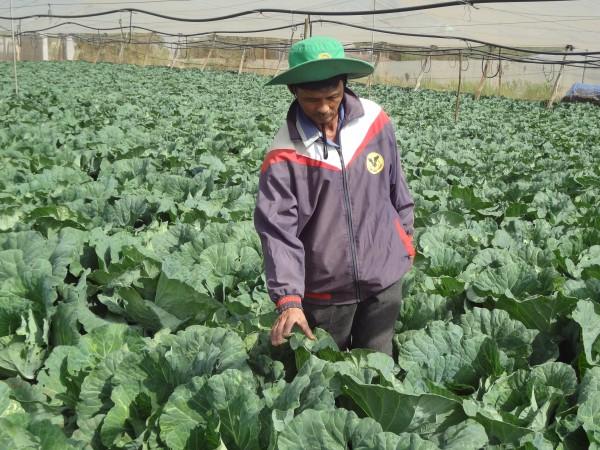 Anh Phan Văn Tình bên vườn bắp sú tốt tươi của gia đình. Trong 2,4ha đất trồng rau thì diện tích trồng bắp sú mang lại cho gia đình anh Tình doanh thu lớn nhất.