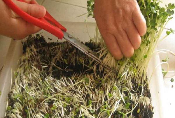 Khi thu hoạch hãy cắt sát bề mặt giá thể trồng.