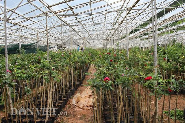 Một góc vườn hồng rộng 8.000m2 của lão nông Đà Lạt. Ảnh: Văn Long.