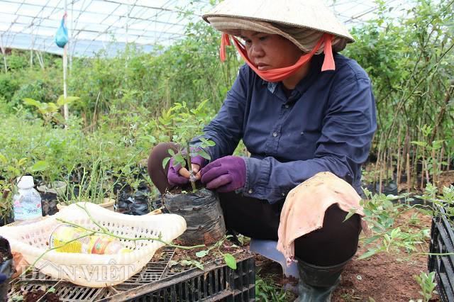 Ghép mắt hồng ngoại vào thân hồng dại để cây khỏe mạnh và sinh trưởng tốt hơn. Ảnh: Văn Long.