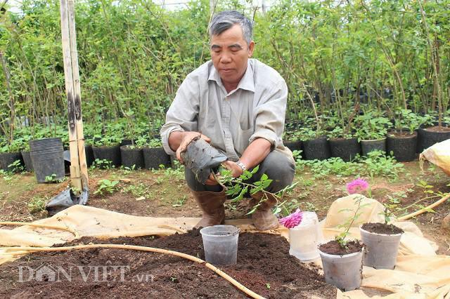 Giá thể ông Đắt dùng để trồng hoa hồng đó là xơ dừa và phân chuồng ủ hoai mục. Ảnh: Văn Long.