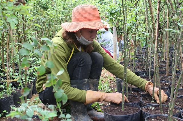 Công nhân làm cỏ và vặt bỏ mầm dại trên thân cây mới ghép trong khu vườn hồng rộng gần 1ha của gia đình ông Đắt. Ảnh: Văn Long.