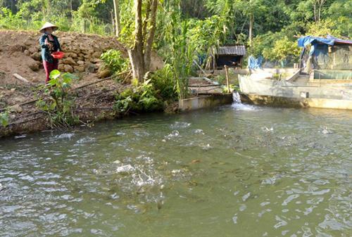 Mô hình nuôi cá anh vũ, cá bỗng-2 loài cá tiến vua của gia đình anh Nguyễn Việt Hoà ở lưng chừng đèo Ái Âu.Ảnh: Báo Tuyên Quang.
