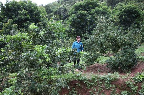 Cả khu vườn rộng gần 8 ha của gia đình chị Thủy đang cho thu nhập mỗi năm hàng chục tấn quả các loại