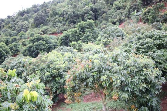 Trong số các loại cây ăn quả của gia đình chị Thủy thì cay nhãn đã cho thu hoạch nhiều nhất, mỗi năm thu hơn 20 tấn nhãn