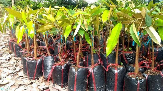 Cây sầu riêng ruột đỏ đang được rao bán tiền triệu.