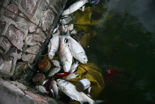 Ban đầu chỉ một số loại cá nhỏ chết nhưng những ngày gần đây nhiều loại cá lớn hơn như cá mè, cá chép... cũng nổi trắng xóa trên mặt nước.
