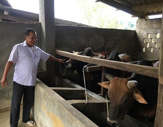 Ông Chắc đang kiểm tra sức khỏe đàn bò tại trang trại