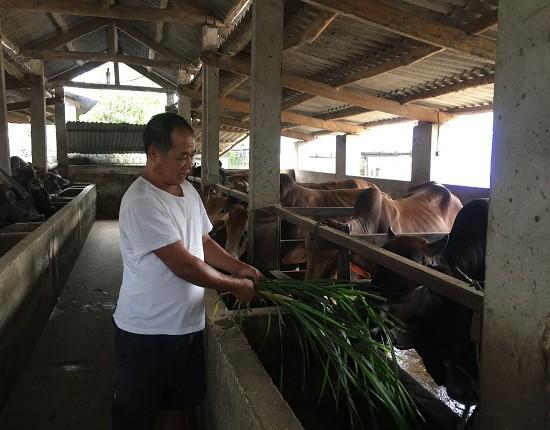 Trung bình một ngày ông Chắc cho ăn 3 bữa để đảm bảo sức khỏe cho đàn gia súc.
