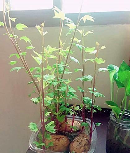 Anna Vũ, ở Hà Nội, cho biết cô mua khoai lang về ngâm nước, khoảng 4,5 ngày sau củ nảy mầm, sau đó phát triển thành ngọn, vươn lên rất nhanh. Trong vòng hai tuần cây đã có nhiều lá.